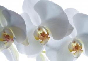 Fototapet Orhidee Albe FTSs 0832