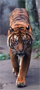Fototapet - Tigru