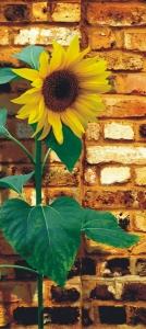 Fototapet Floarea Soarelui
