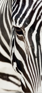 Fototapet -Zebra