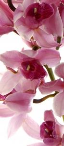 Fototapet Orhidee FTV 15140
