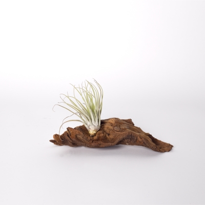 Mangrova + planta aeriana