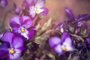 Ulei de violete, 50 ml