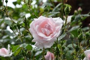 Deodorant roll-on cu trandafir salbatic, 50 ml